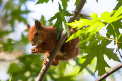 Squirrel eating. On tree branch Royalty Free Stock Photos