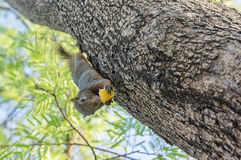Squirrel eating on the tree Royalty Free Stock Photos
