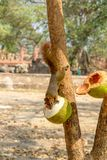 Squirrel eating two coconut royalty free stock photography