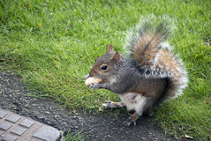 Squirrel eating. Very lovely squirrel eating a nut in the park stock images