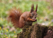 Squirrel Eating Walnut Stock Photos