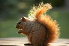 Squirrel Eating Walnut. Backlit Squirrel Eating Walnut Stock Photography
