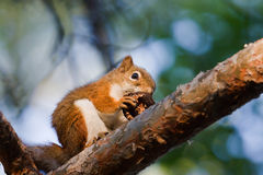 Squirrel eating a Walnut Royalty Free Stock Photo