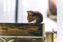 Squirrel eating a walnut on a gardenwall stock images