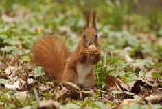 Squirrel eating walnut Royalty Free Stock Images