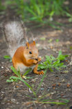 Squirrel is eating Stock Photography