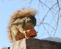 Squirrel eating winter apple Stock Image