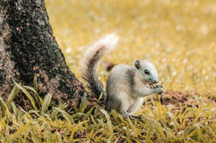 Squirrel eating yellow grass. Light brown squirrel is eating grass Stock Image