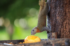 Squirrel eating yellow mango fruit on tree Stock Photos