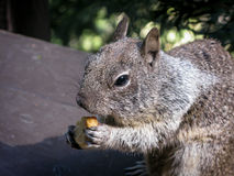 Squirrel eating in Yosemite Valley Royalty Free Stock Photography