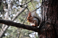 Squirrel eats Royalty Free Stock Images