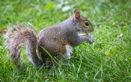Squirrel eats Royalty Free Stock Photos