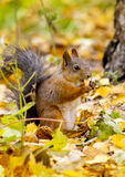 Squirrel eats apple peace in the autumn forest Stock Photography