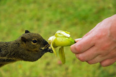 Squirrel eats a banana Royalty Free Stock Photo