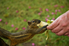 Squirrel eats a banana Royalty Free Stock Photography