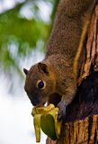 Squirrel eats a banana Stock Photography