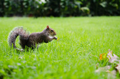 Squirrel  eats on grass Stock Photo
