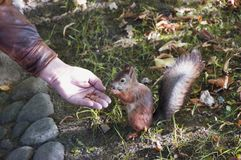 The squirrel eats from a hand Royalty Free Stock Image