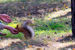 Squirrel eats from a hand in the park Royalty Free Stock Image