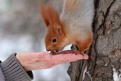 Squirrel eats from the hand. A wild squirrel takes nuts from the hands of a man. Royalty Free Stock Image