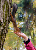 Squirrel eats with his hands. Paws red squirrel rests on a tree and a man hand and eats Royalty Free Stock Photography