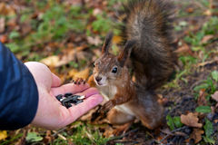 Squirrel eats with his hands. Paws red squirrel rests on a tree and a man hand and eats Stock Photo