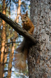 Squirrel eats a nut Royalty Free Stock Photo
