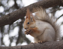 The squirrel eats a nut Stock Photo