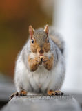 Squirrel eats nut. Close-up of the squirrel eating a nut Stock Photo