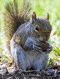 Squirrel eats a nut. A small squirrel illuminated by the sun royalty free stock images