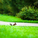 Squirrel eats a nut in profile. Sitting on the footpath in the midst of green grass in summer park royalty free stock photos