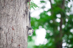Squirrel eats a nut. On tree stock photography