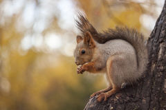 Squirrel eats a nut on a tree. In the city park Stock Image