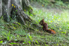 Squirrel eats a nut under the tree Stock Images