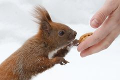 The squirrel eats nuts Stock Photo