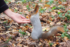 Squirrel eats nuts Stock Photos