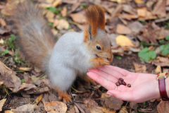 Squirrel eats nuts Stock Photography