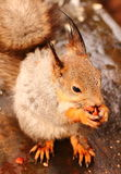 Squirrel eats nuts on the bench Stock Images