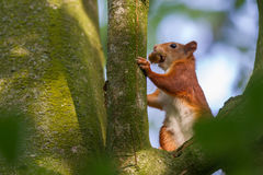 Squirrel eats nuts Royalty Free Stock Photography
