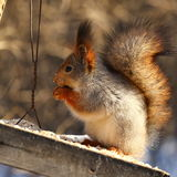 Squirrel eats nuts. Squirrel eating nuts on birds feeder stock images