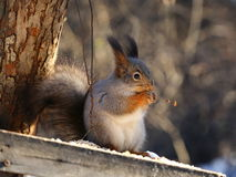 Squirrel eats nuts. Squirrel eating nuts on birds feeder royalty free stock images