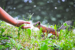 Squirrel eats nuts. From the girl`s hands Royalty Free Stock Photo