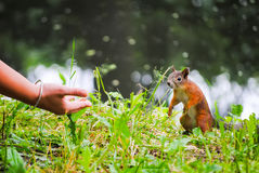 Squirrel eats nuts. From the girl`s hands Stock Photo