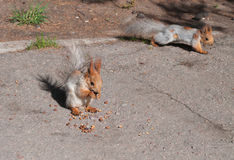 Squirrel eats nuts Stock Images