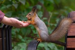 Squirrel eats nuts royalty free stock image