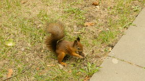 Squirrel eats the Nuts in the Park and run away stock video footage
