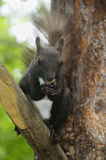 Squirrel eats nuts Royalty Free Stock Photo