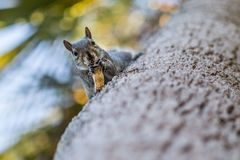 Squirrel on a tree with a nut. A squirrel eats nutsas it sits in a tree  in a backyard in Holly Hill, Florida in February 2015 Royalty Free Stock Photo