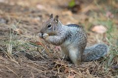 Squirrel eats a seed in the forest stock photography