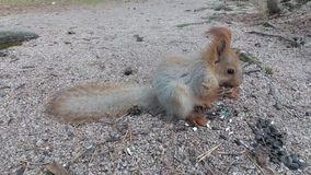 Squirrel eats seeds stock video footage